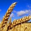 Coldiretti – Azzerato import grano canadese per pasta