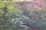 Taurano – Sequestrate dai Carabinieri numerose piante di cannabis