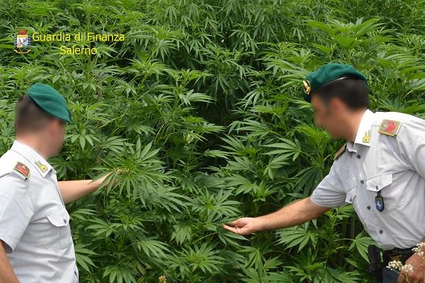 Fiori Bagnoli Irpino : Salerno u2013 piantagione di marijuana in serra al posto dei fiori